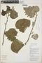 Croton niveus Jacq., Guatemala, J. J. Castillo Mont 2389, F