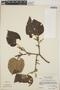 Croton niveus Jacq., Guatemala, A. Molina R. 25140, F