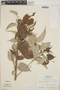 Croton niveus Jacq., Honduras, A. Molina R. 25948, F