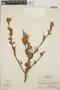 Croton niveus Jacq., Honduras, A. Molina R. 6983, F