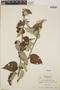 Croton niveus Jacq., Honduras, A. Molina R. 5894, F