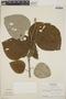 Croton niveus Jacq., Honduras, A. Molina R. 24552, F