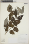 Croton niveus Jacq., Costa Rica, A. Rodríguez González 1831, F