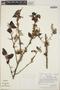 Croton niveus Jacq., Costa Rica, W. C. Burger 11385, F