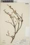 Croton niveus Jacq., Costa Rica, P. Opler 667, F