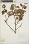Croton niveus Jacq., Costa Rica, G. Rivera 751, F