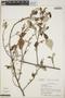 Croton niveus Jacq., Costa Rica, R. L. Liesner 4608, F