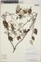 Croton niveus Jacq., Nicaragua, W. D. Stevens 22765, F