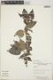 Croton niveus Jacq., Nicaragua, P. P. Moreno 3265, F