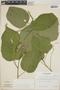 Croton billbergianus Müll. Arg., Panama, R. B. Foster 844, F