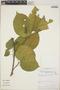 Croton billbergianus Müll. Arg., Panama, J. S. Miller 1032, F