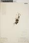 Sedum mellitulum Rose, Mexico, I. W. Knobloch 5477, F