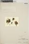 Sedum mellitulum Rose, Mexico, I. W. Knobloch 31, F