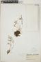 Sedum mellitulum Rose, Mexico, B. Barlow 85, F