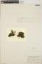 Sedum mellitulum Rose, Mexico, D. H. LeSueur 1328, F