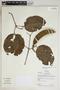 Amphilophium mansoanum (DC.) L. G. Lohmann, Bolivia, M. C. Peña 99, F