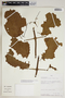 Amphilophium mansoanum (DC.) L. G. Lohmann, Peru, A. H. Gentry 43262, F