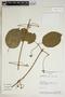 Amphilophium mansoanum (DC.) L. G. Lohmann, Bolivia, A. H. Gentry 74053, F