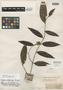 Calycampe angustifolia O. Berg, BRITISH GUIANA [Guyana], M. R.  Schomburgk 548, Isosyntype, F