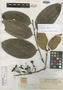 Psammisia elegans Rusby, Colombia, Herb. H. Smith 1554, Isotype, F