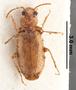 Psammodromius noctivagus NT dorsal habitus czm4