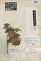 Eugenia curvipilosa McVaugh, PERU, A. Weberbauer 7137, Holotype, F