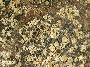 Bellemerea alpina image