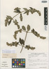 Minthostachys mollis var. hybrida Schmidt-Leb., VENEZUELA, F. J. Breteler 3371, Isotype, F