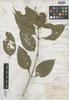 Beloperone bangii Rusby, Bolivia, M. Bang 1224, Isotype, F