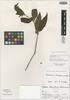 Beloperone mandoni Lindau, Bolivia, G. Mandon 297 p.p., Isotype, F