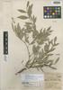 Buxus bartlettii image