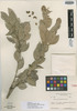Image of Buxus portoricensis