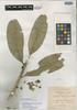 Buxus macrophylla image