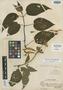 Salvia scandens Epling, Peru, A. Weberbauer 7796, Holotype, F