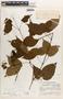 Lundia puberula Pittier, Guatemala, J. A. Steyermark 38104, F