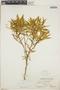 Croton discolor Willd., Bahamas, C. F. Millspaugh 9313, F