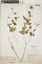 Croton hirtus L'Hér., Trinidad and Tobago, W. E. Broadway 2789, F