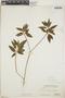 Croton humilis L., Bahamas, P. Wilson 7486, F
