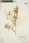 Croton linearis Jacq., Bahamas, W. T. Gillis 9412, F