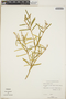 Croton linearis Jacq., Bahamas, D. S. Correll 46070, F