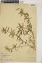 Croton linearis Jacq., Bahamas, L. J. K. Brace 172, F