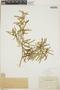 Croton linearis Jacq., Bahamas, A. E. Wright 65, F