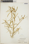 Croton linearis Jacq., Bahamas, C. F. Millspaugh 9228, F