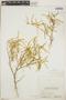 Croton linearis Jacq., Bahamas, N. L. Britton 6227, F