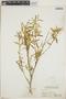 Croton linearis Jacq., Bahamas, N. L. Britton 6144, F