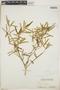 Croton linearis Jacq., Bahamas, N. L. Britton 5464, F
