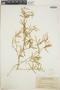 Croton linearis Jacq., Bahamas, J. K. Small 8740, F