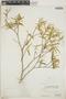 Croton linearis Jacq., Bahamas, P. Wilson 7325, F