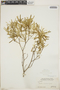 Croton linearis Jacq., Bahamas, P. Wilson 7366, F