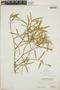 Croton linearis Jacq., Bahamas, P. Wilson 7562, F